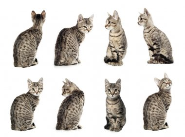 Collage of Little gray cat in different positions isolated on wh