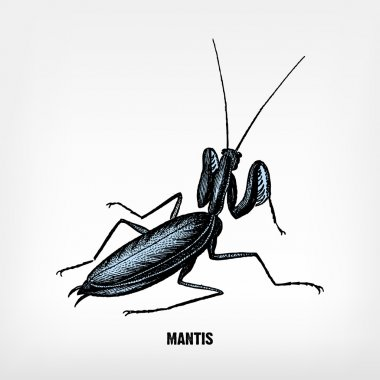Engraving vintage praying mantis.