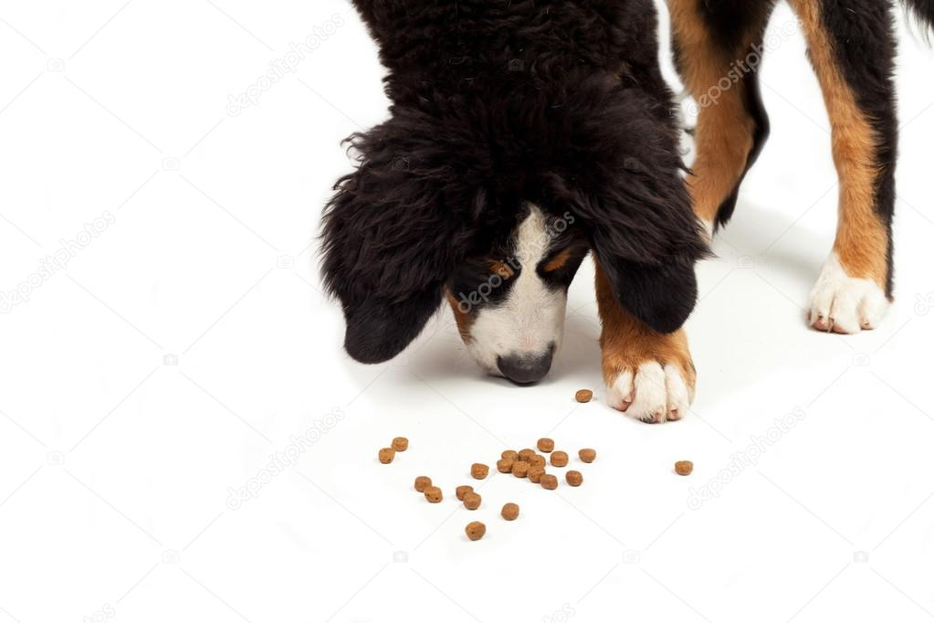 Bernese Mountain Dog That Eating On A White Background