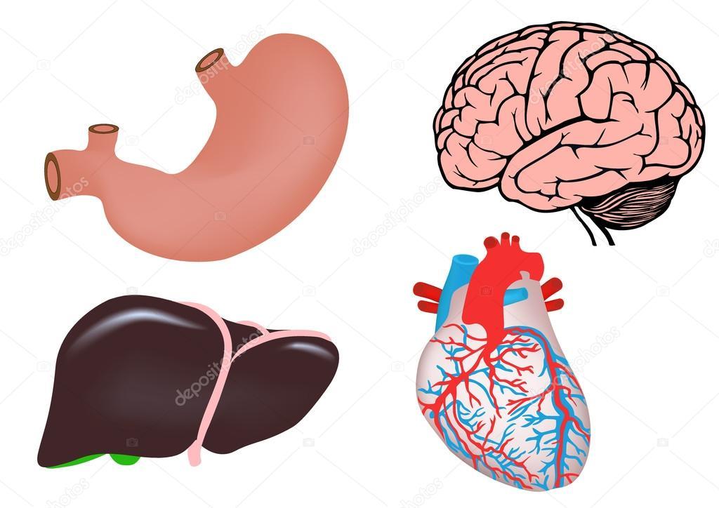 conjunto de órganos humanos. cerebro, estómago de corazón, hígado ...