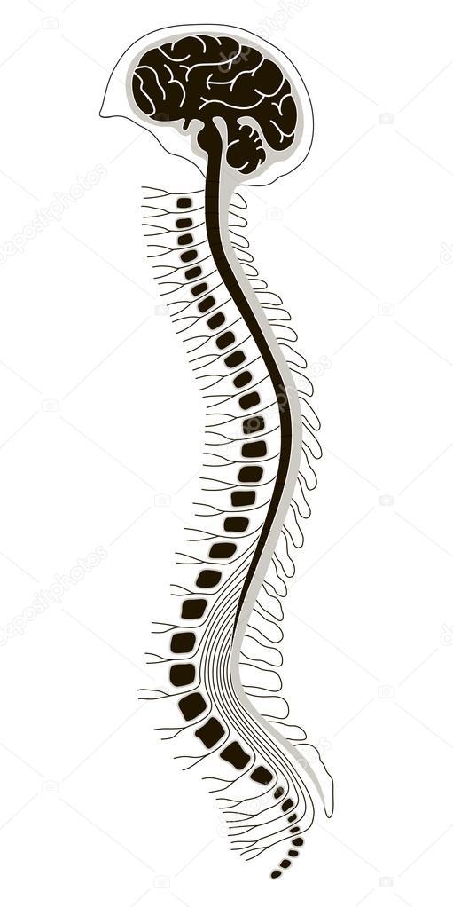 menschliche Brian mit Rückenmark und Wirbelsäule — Stockvektor ...