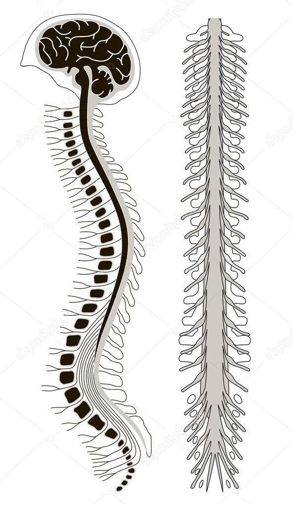 brian humana con la médula espinal y columna vertebral — Archivo ...