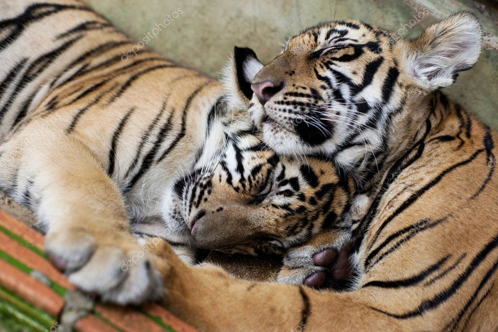 Sleeping Indo-China Tigers