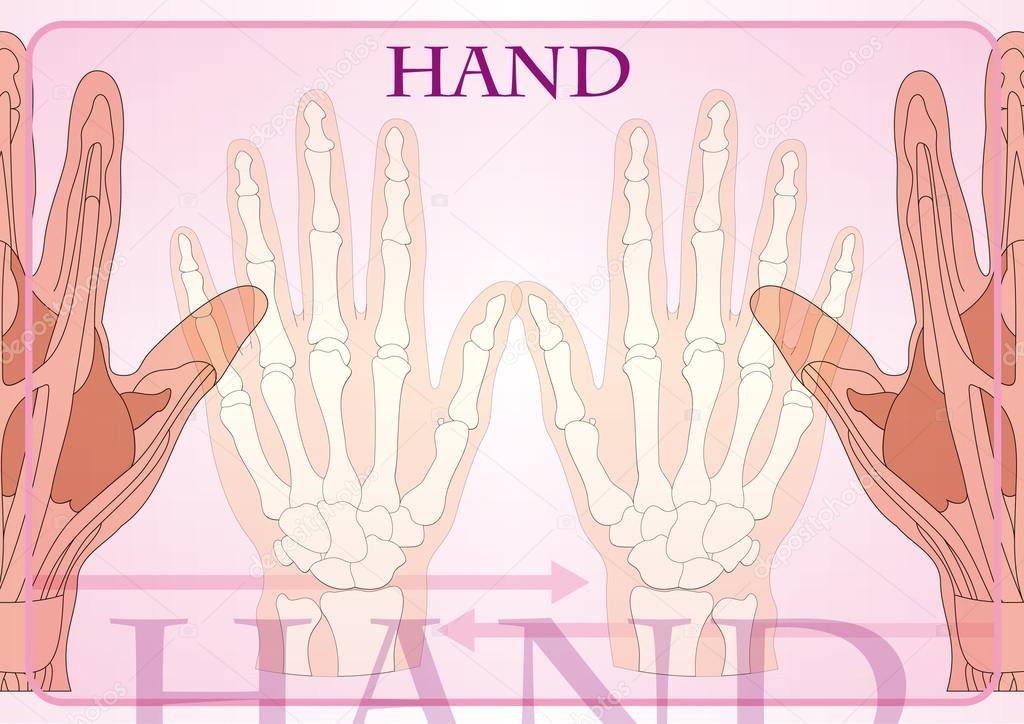 Le Mani: Anatomia — Archivo Imágenes Vectoriales © pballphoto #13998046