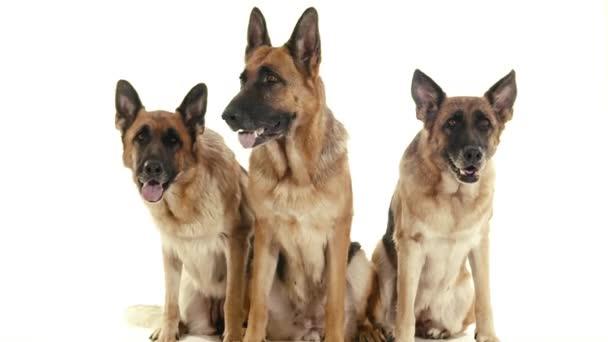 German shepherd dogs sitting.