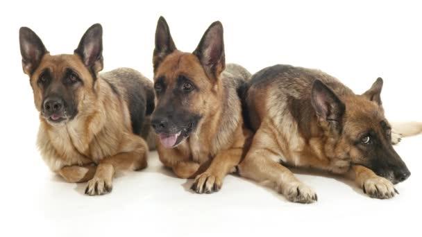 German shepherd dogs lying down on floor.