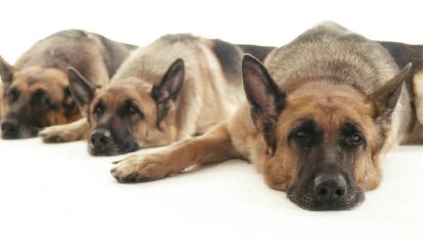Dogs lying down on floor.