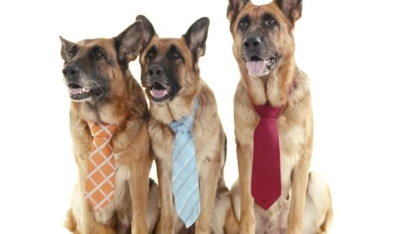Dogs with tie.
