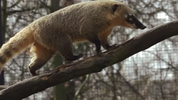Coati walks on tree trunk in slow motion