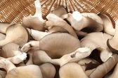 Fotografie Oyster mushroom