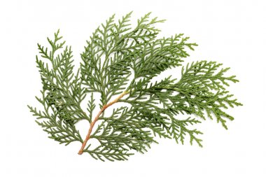 Leaves of pine tree or Oriental Arborvitae