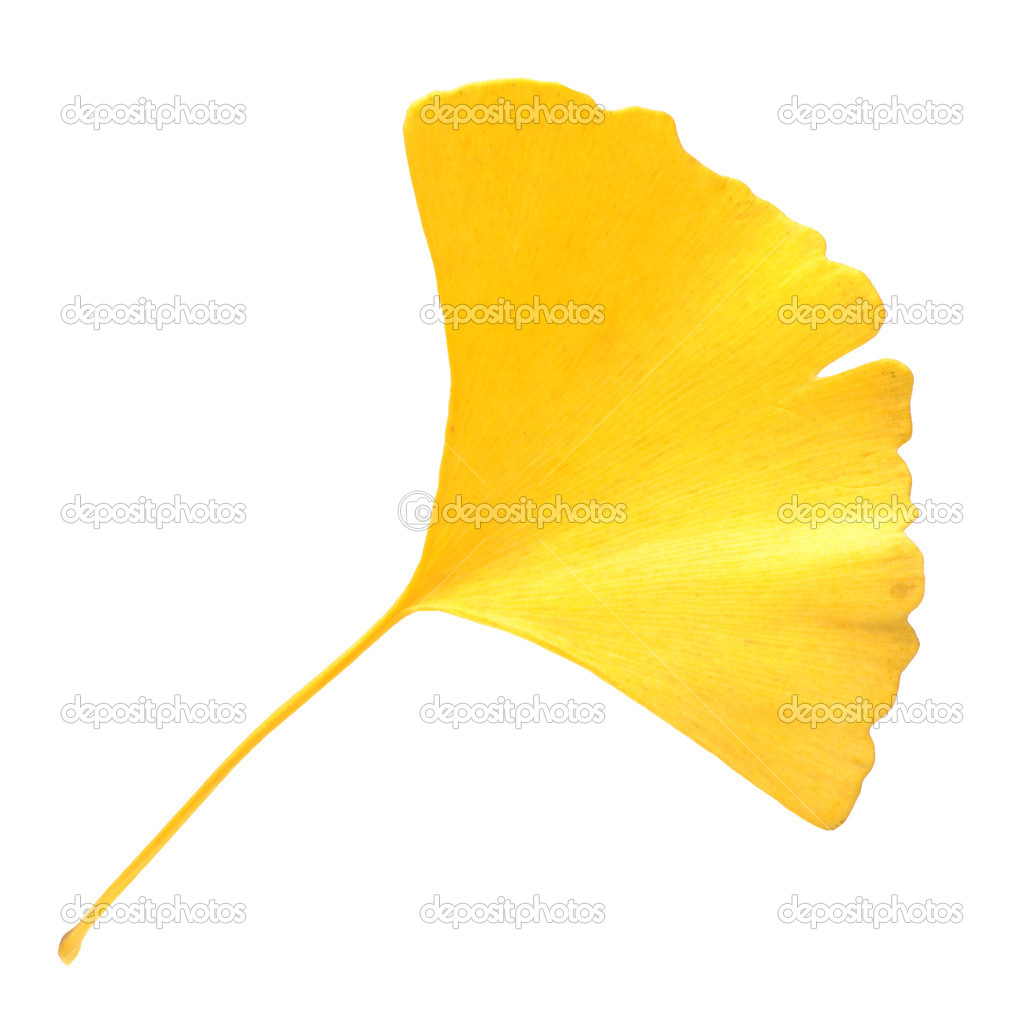 how to use ginkgo leaves