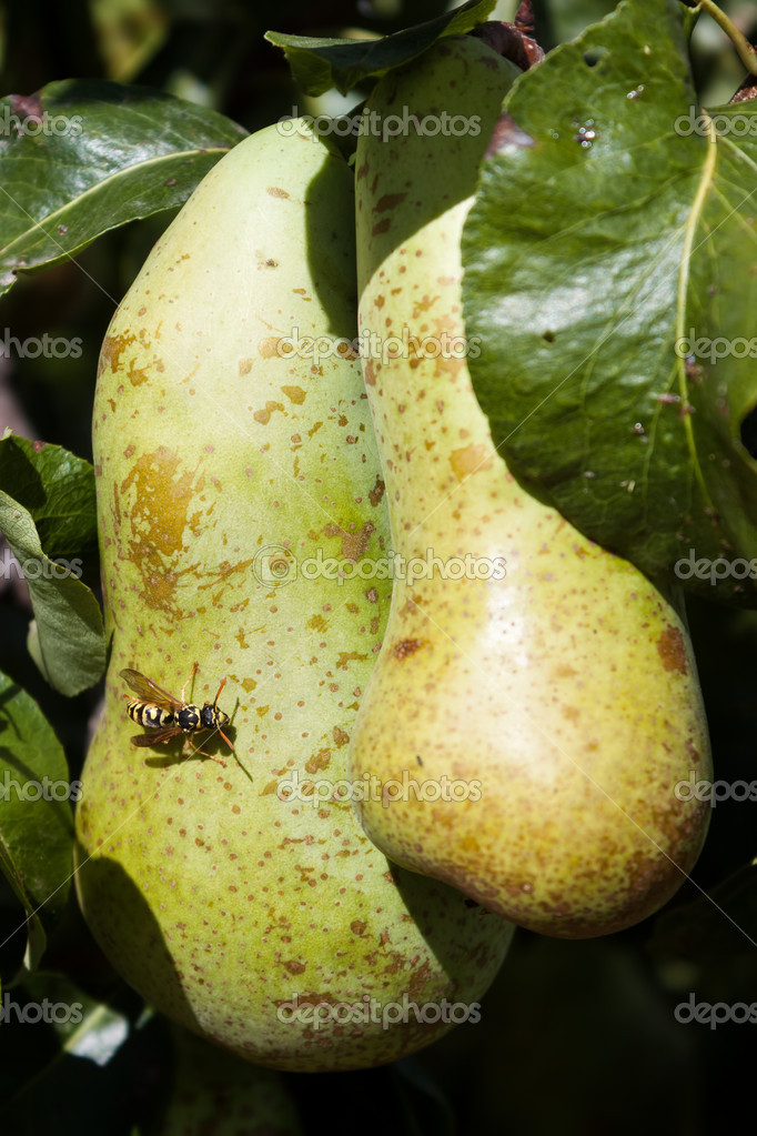 Pears and wasp