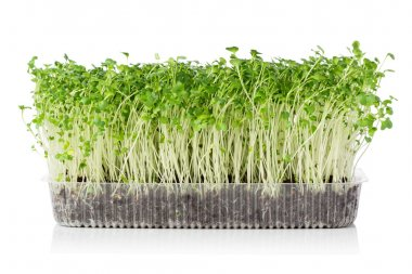 growing microgreens