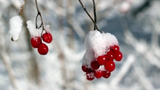 Kalina jahody v zimě