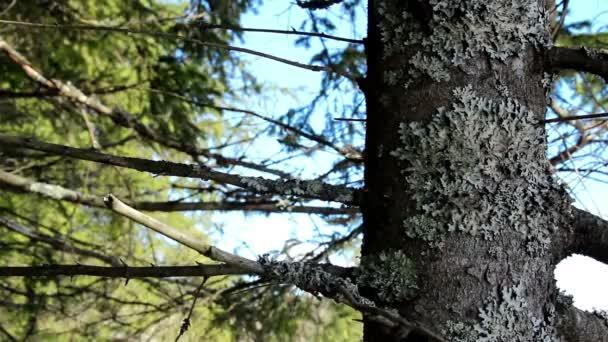 kmen a větve borovice s mechem na něm