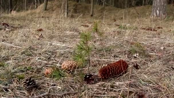 Couple of fir cones scattered on the ground