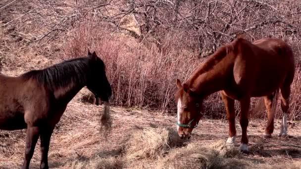 két ló, állandó, evés közben