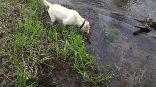 bílého psa pitné vody na řece