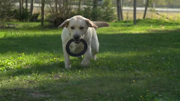 A pet labrador dog playing on the grass