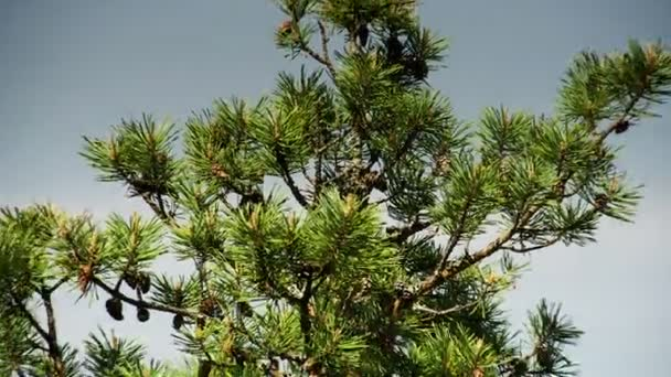 The pine tree with green leaves