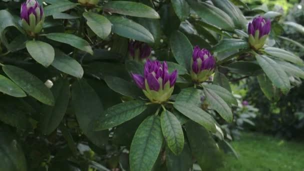 květy fialové rododendron