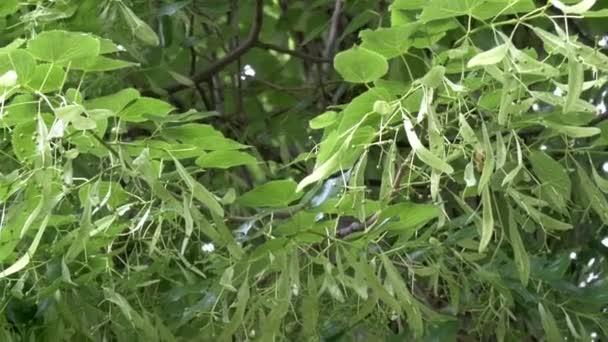 gh4 strom srdčité nebo malolistá Lípa tilia