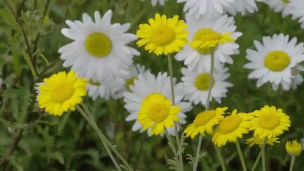 žluté a bílé sedmikrásky mává fs700 odyssey 7q