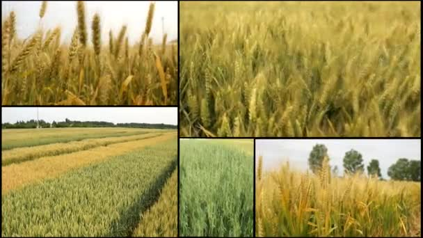 Wheat,oats barley grain field harvest multi split  screen