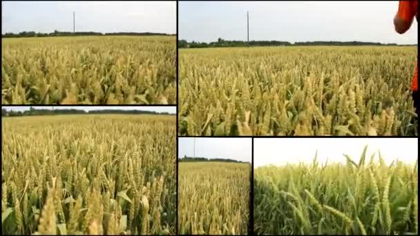 búza, zab Árpa gabona a mező betakarítás multi osztott képernyős
