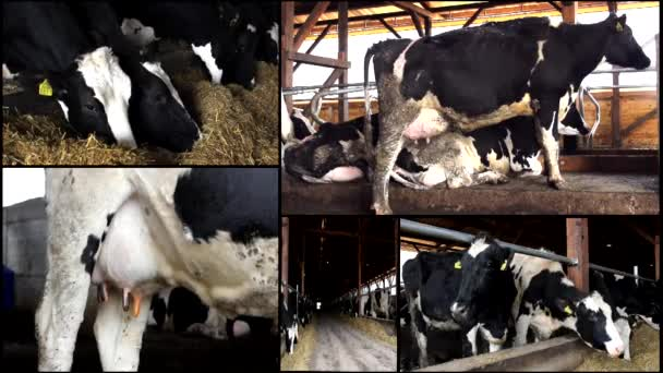 Dairy cows in the stable