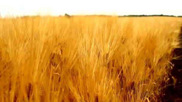 búza Árpa gabona arany mezőgazdasági területen