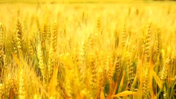 Wheat barley grain golden agricultural field