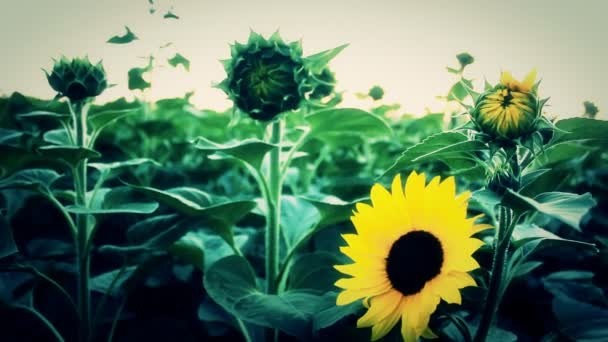 Sunflower field in the summer time