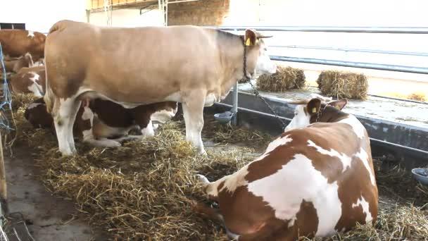 býci kráva farma