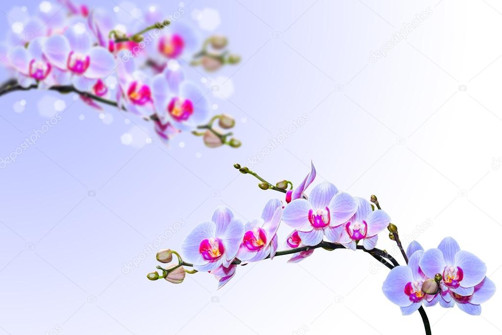 Blue pink orchid flowers on blurred gradient background