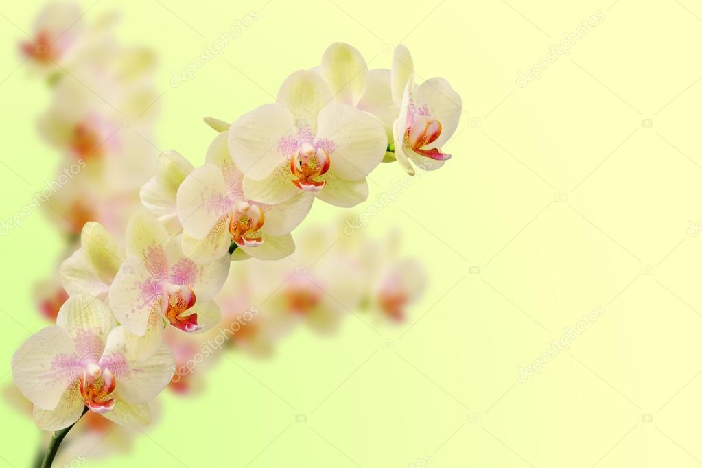 Bouquet of soft toned beige orchid flowers