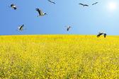 hejno čápů bílých migrace na jaře nad kvetoucí louka