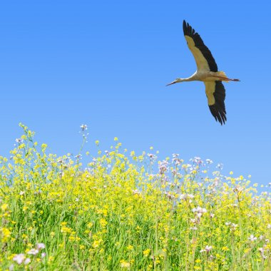White stork flying in clear blue sky over the spring flowering f