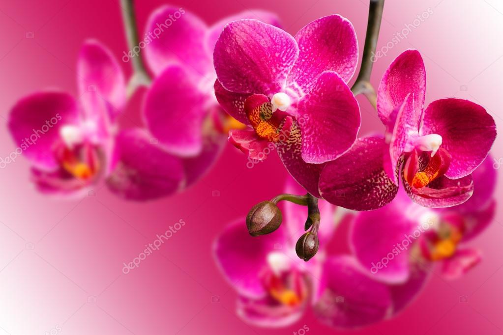 Dark purple orchids on blurred gradient background