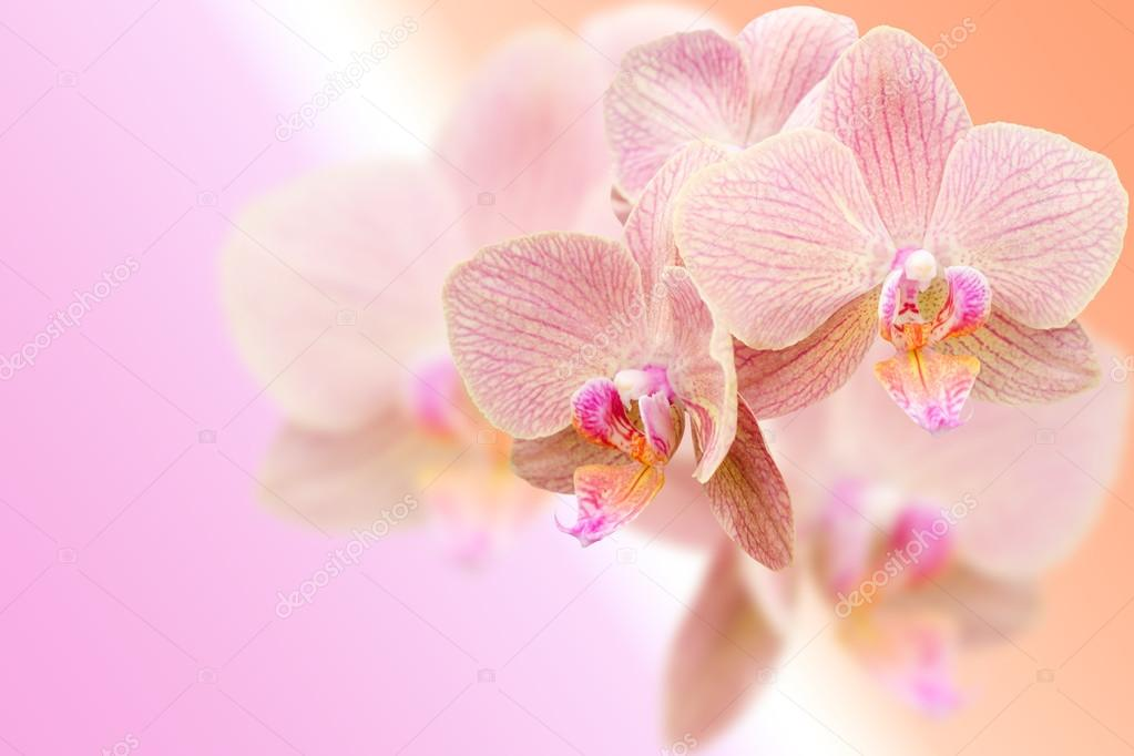 Delicate pink orchid flowers on blurred gradient background