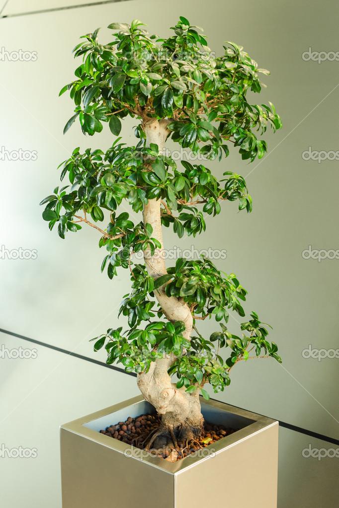 miniature ficus tree bonsai japanese traditional art. Black Bedroom Furniture Sets. Home Design Ideas