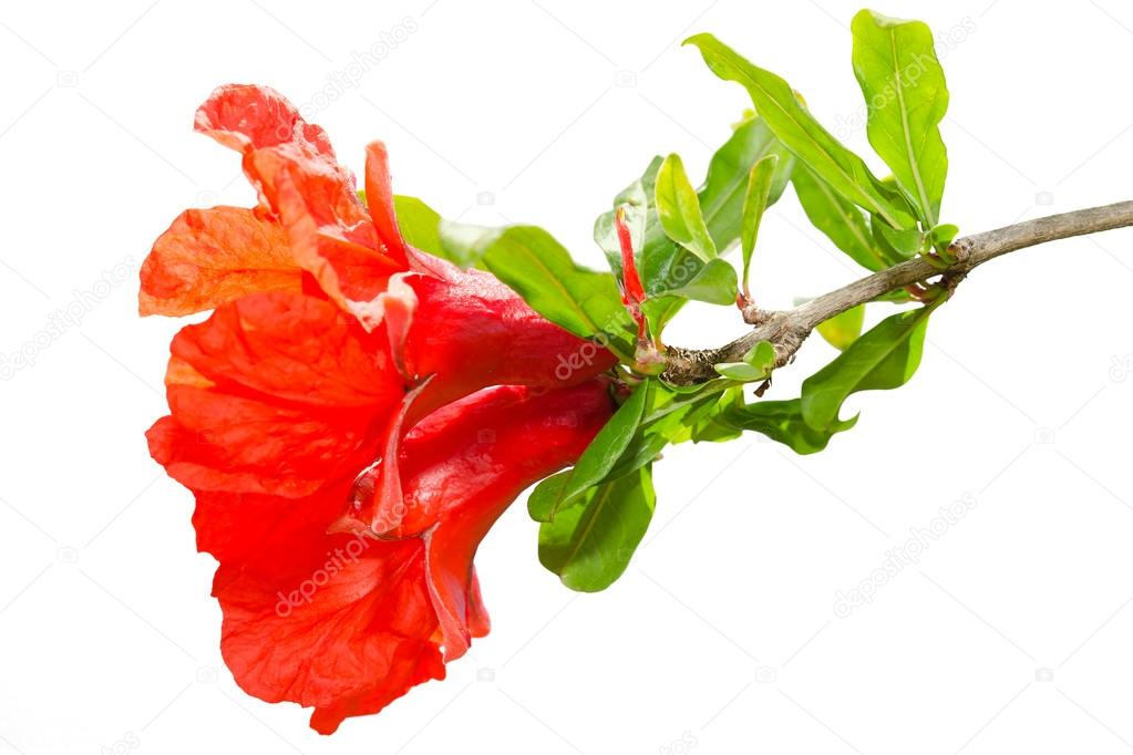 Isolated pomegranate spring blossom red flowers