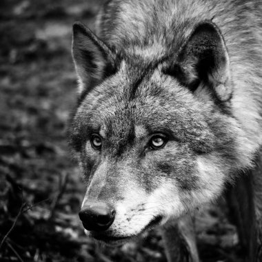 Black & White Wolf Portrait