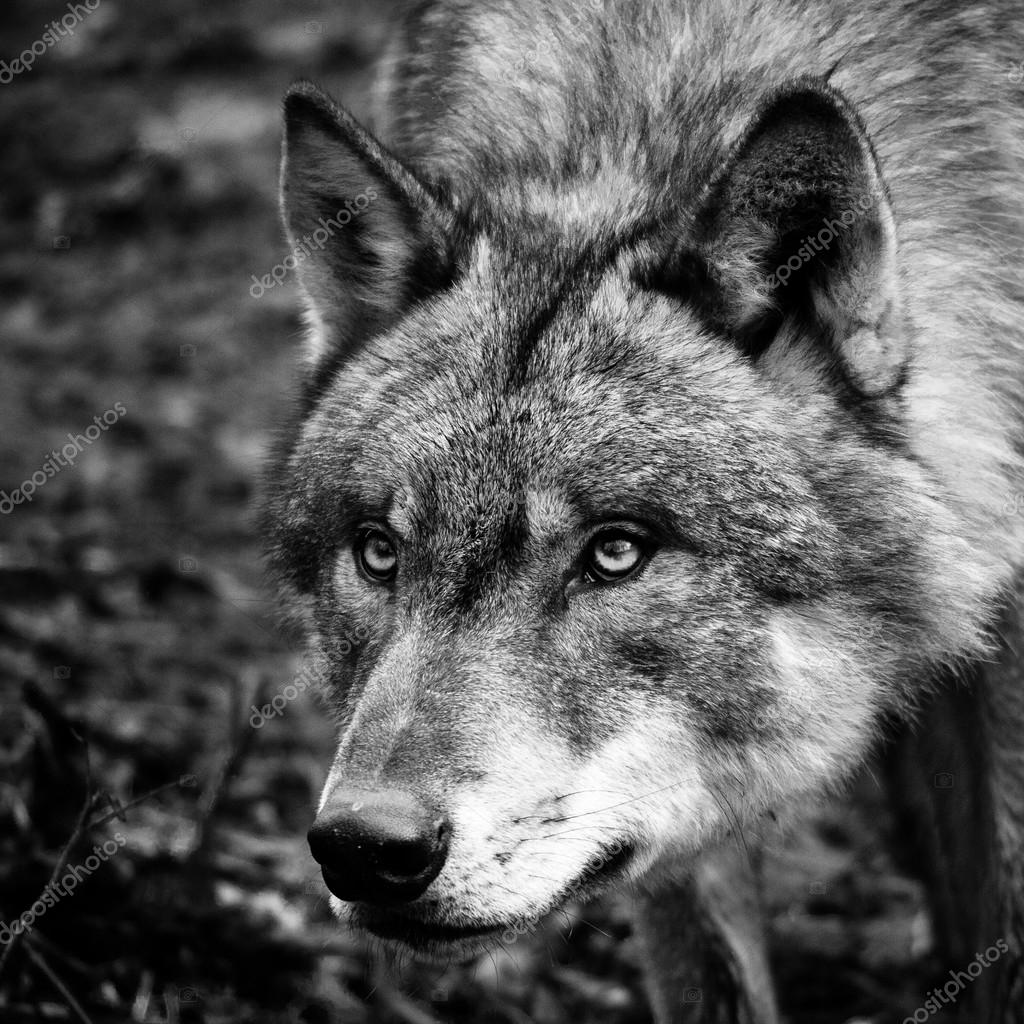 Black white wolf portrait stock photo zizar 24088691