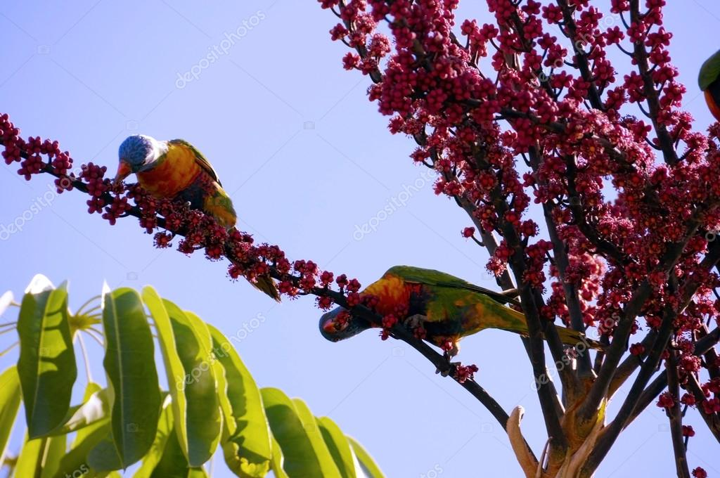 Australian Native fauna, Rosella Rainbow Lorikeet Parrot birds in Umbrella Plant Tree eating red berries fruit in Autumn, taken in Adelaide, South Australia