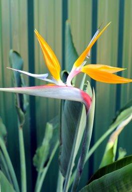 Bird or Paradise or South African Crane Flower, botanical name Strelitzia Reginae - vertical.