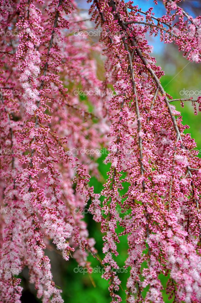 fleurs de fleur de printemps rose sur les pleurs de branche d 39 arbre arbuste au printemps. Black Bedroom Furniture Sets. Home Design Ideas