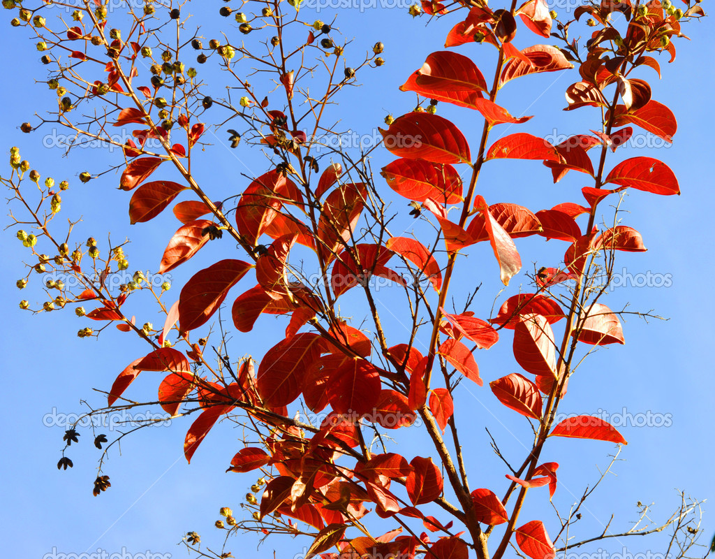 Red autumn fall leaves of a young Crepe Myrtle, Lagerstroemia in