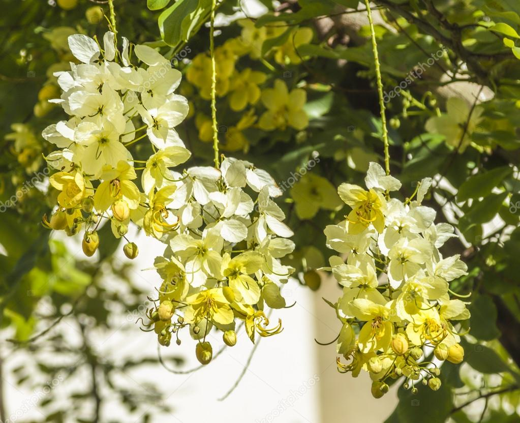 Hawaiian rainbow shower tree blooms stock photo lameeks 28900243 closeup of the yellow and white blooms of a hawaiian rainbow shower tree photo by lameeks izmirmasajfo Images